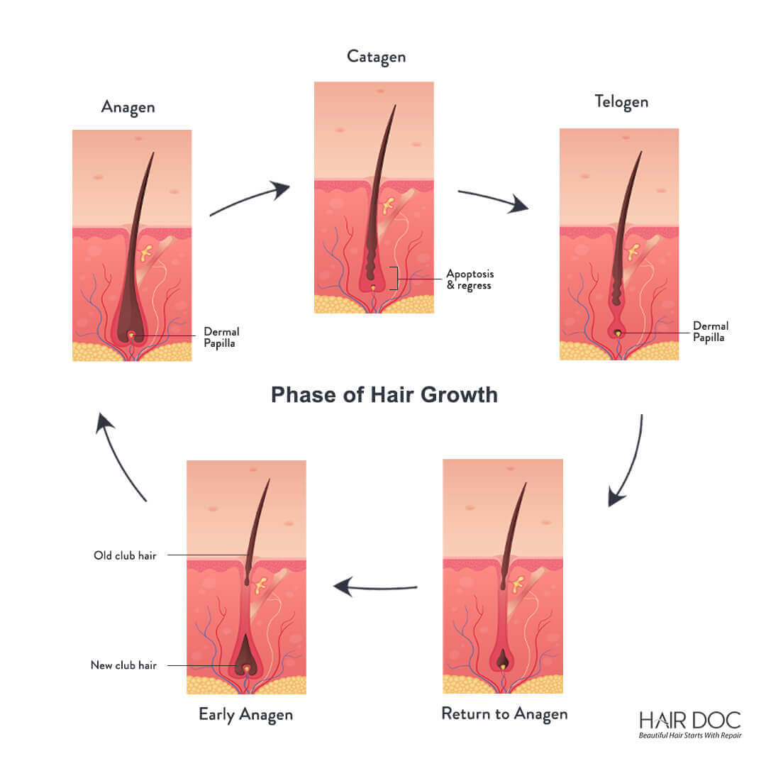 Normal Hair Growth Cycles